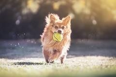 Gorgo and his ball (GiuliaCibrario) Tags: dog dogs mydog doggy mylove play run ball sunset animal animals pet pets garden beauty