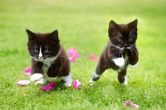 'Ronnie and Roo' (Jonathan Casey) Tags: kittens blackandwhite cute garden rescue d810 105mm f28 vr nikon jonathancaseyphotography