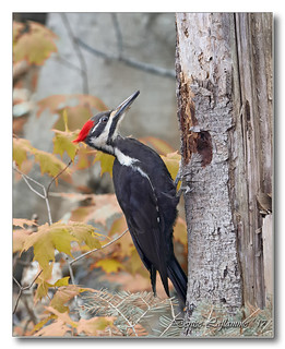 103A8934-DL   Grand pic (femelle) / Pileated Woodpecker (female).