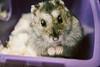 Meet Quinn ❤️ (sie___) Tags: hamster animal pet cute closeup paws eyes nose quinn sandraplanelles sie
