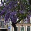 .... (Loca....) Tags: loca portugal setúbal jacarandá jacarandatree
