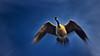 The Goose Poster (Bob's Digital Eye) Tags: 2017 animal bird bobsdigitaleye canon canonefs55250mmf456isstm depthoffield flicker flickr nature outside poster t3i wildbirds wildlife birdsinflight flight canadagoose goose blury
