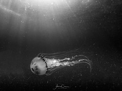 Jelly- (A Crowe Photography) Tags: compassjellyfish jellyfish underwater gopro sea seaphotography blackandwhite bw bwflickr goproimage light offshore wales welshflickrcymru welshphotography welshphotographer underthesea liverpoolbay irishsea nationalgeographic nature chrysaorahysoscella cnidaria