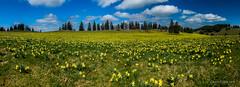 Panorama des Jonquilles (Switzerland) (christian.rey) Tags: jonquilles jura neuchâtelois panorama neuchâtel paysage printemps frühling spring landscape assemblage sony alpha 77 tokina 1116