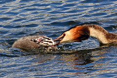 Adult grebe grabbing the neck of a chick. (E P Rogers) Tags: neck
