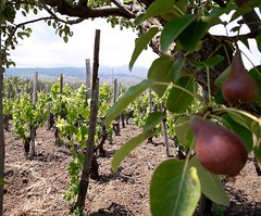 Photo (fischettiwine) Tags: inside vine wine moscamentoestate fruit grapefruit pears vineyards winetasting tours etnawine etnamountain sicily etnadoc muscamento alberello number bottle