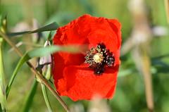 Full sunlight (dfromonteil) Tags: poppy coquelicot fleur flower rouge vert red green colors couleurs nature plant plante light sunlight lumière ensoleillé printemps spring macro bokeh