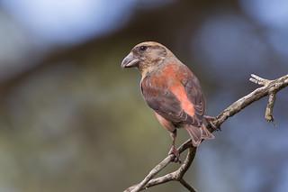 Crossbill - Male