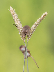 Harvest mice on wheat (susie2778) Tags: olympus omdem1mkii 60mmmacrof28 harvestmouse wheat captivelight captive