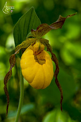 large yellow lady slipper, cypripedium parviflorum var. pubescens (ats8110) Tags: large yellow lady slipper cypripedium parviflorum var pubescens michigan native wild orchids d700 nikon focus stacking