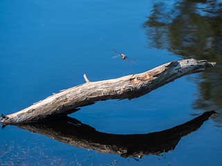 Branch reflection..the dragonfly was pure luck
