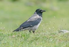 JWL8843  Hooded Crow.. (jefflack Wildlife&Nature) Tags: hoodedcrow crows crow countryside corvids mull scotland birds avian animal wildlife wildbirds lochs nature