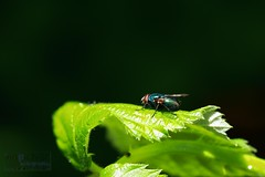Blue Beauty (innpictime ζ♠♠ρﭐḉ†ﭐᶬ₹ Ȝ͏۞°ʖ) Tags: green backgarden insect macro bluebottle fly redeyes calliphoravomitoria blowfly nettle stingingnettle blue