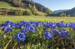 Blau blüht der Enzian
