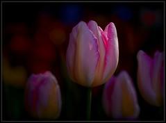 Softly Yours (Ernie Misner) Tags: f8andlaydown closeup flowercloseup flower tulip skagitvalleytulipfestival tulipfestival washington erniemisner tamron90 macrolens nikond810 lightroom nik capturenx2 topazdenoise