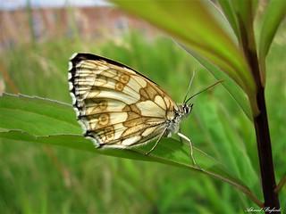 Butterfly 1330