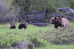 "Grizzly ""399"" (Jays and Jets) Tags: bear nature wildlife grizzly tetons yellowstone grandtetonnationalpark yellowstonenationalpark 399 cubs"