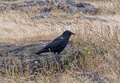 Northwestern Crow (David Badke) Tags: oakbay bc bird