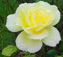 Rainy-rose (johnb/Derbys/UK) Tags: flower rose rain wet weather bloom myworld garden raindrops nature plant