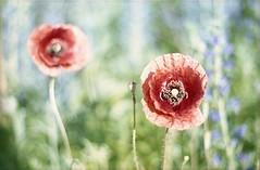 Flower Power #10 (Moryc Welt) Tags: poppy flowers overexposed fujicolorc100 asa100 tetenalsp45 c41 colors closeup iscanforlinux gimp epsonv600 oreston50 chinoncxii