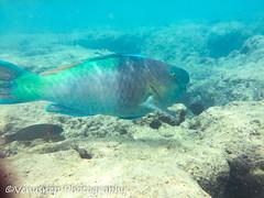 Hanauma Bay 14 (venusnep) Tags: hanaumabay hanauma bay underwater tropicalfish tropical fish iphone watershot watershotpro hawaii snorkeling travel travelphotography may 2018