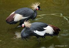 Pootje badende Kraanvogels (ditmaliepaard) Tags: kraanvogels safaripark beeksebergen hilvarenbeek a6000 sony
