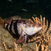 Banded seaperch - Hypoplectrodes nigroruber