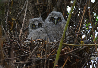 Long-eared Owlets - 5974b+