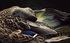 The Dance (akigabo) Tags: montreal nature fauna animal duck bath dance life akigabo canon light t5i 700d 250mm lake texture 7dwf