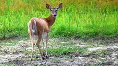 White-tailed Deer (Suzanham) Tags: deer animal whitetaileddeer nature wildlife doe mississippi odocoileusvirginianus mammal herbivores canonpowershotsx60hs country southern hunted noxubeewildliferefuge simplysuperb
