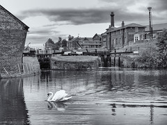 Swan below the lock gates (Tim Ravenscroft) Tags: swan pool canal museum ellesmereport wirral england hasselblad hasselbladx1d x1d gates
