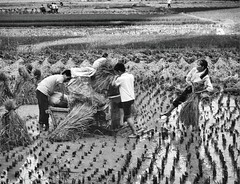 Rice harvesting Xingping Guangxi 1993 (Bruce in Beijing) Tags: china guangxi yangshuo xingping ricecultivation ricethreshing farming padi fields
