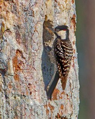 Red Cockaded Woodpecker, Male, by Don Mullaney