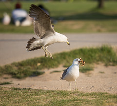 It's mine ! (Heonni) Tags: animal bird chicken competition nature phography 경쟁 동물 먹이 사냥 사진 새 순간 싸움 약탈 조류