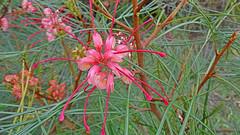 Grevillea johnsonii_1 (Tony Markham) Tags: grevilleajohnsonii johnsonsgrevillea threatenedspecies rotap 2rci rare endangered wollongongbotanicgardens wollongong illawarra proteaceae