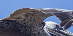 Eye of the pelican (Tim Brown's Pictures) Tags: sandiego horizontal waterfowl waterbirds pacificcoast pelicans 7thstreetnw brownpelican brownpelicans flying birdsinflight tandem pairofbirds soaring california pointloma daytime bluesky