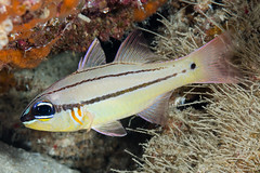 Bargill Cardinalfish - Ostorhinchus sealei (zsispeo) Tags: actinopterygii apogonidae osteichthyens ostorhinchus perciformes teleostei sealei scuba diving coral reef fish cardinalfish underwater macro bohol panglao