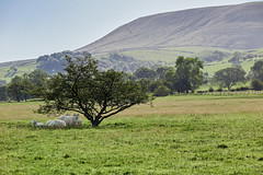 Shelter (scottprice16) Tags: england lancashire mearley pendle pendlehill pennines south farming field summer june heatwave shelter tree lonetree sheep wool animals wildlife landscape ribblevalley canon canong1xmarkii