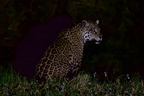 brazil-pantanal-caiman-lodge-jaguar-at-night-one-copyright-thomas-power-pura-aventura