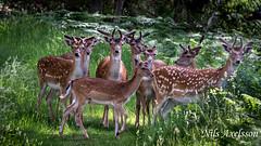 Fallow deer (NAxelsson) Tags: nature deer canon 400mm 400 100mm 100 forest animal animals dawn morning fallow woods wood grass