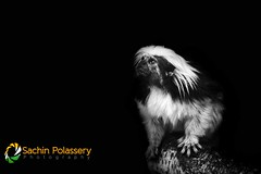 Cotton-top tamarin (polassery) Tags: cotton top tamarin centralamerica cottontoptamarin columbia primates endangered saguinusoedipus species research trade forest illegal population adult captivity zoology horizontal animal protection awareness deforestation logging farming bw blackwhite hairy faced furface