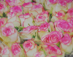 Pink-tinged roses for sale in Utrecht, Holland (elizabatz.jensen) Tags: photoapp stackables pinktinged roses forsale utrecht holland