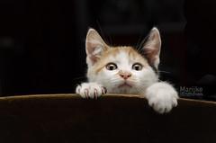 Trudy (Marijke van Endhoven) Tags: cat cats kitten kittens calico portrait pet pets animal animals cute indoors kat katten lapjeskat lapjeskitten lapjespoes portret huisdier huisdieren dier dieren lief nikon