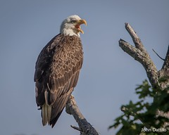 Corydon Indiana Eagles (flintframer) Tags: dattilo wow canon eos7dmarkii ef600mm raptors nature wildlife corydon harrison county indiana bald eagles