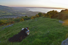 Watching the Sun go down. (Mike & Indy) Tags: laddie dog dogs bordercollie llanfairfechan northwales menai straits anglesey explore