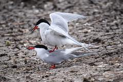charran aterrizando en su pareja (barragan1941) Tags: aves avesmarinas charran escocia islasfarne