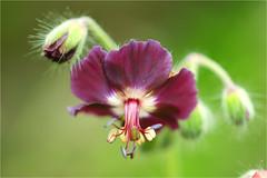 purple............ (atsjebosma) Tags: flower macro details purple green bloem paars groen atsjebosma groningen thenetherlands nederland may mei 2017 geranium ngc npc