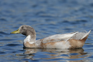 1DX18545 View large. Domestic duck found in Temecula, Southern California