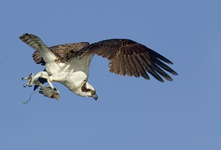Osprey with a fish (r)