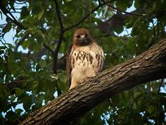 Dora looking pretty (Goggla) Tags: nyc new york east village tompkins square park urban wildlife bird raptor red tail hawk adult female dora